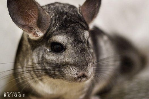 Chinchilla by cardinal