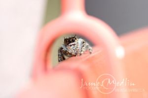 jumping spider 41 by JamesMedlin