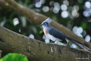 Crested Coua by meihua