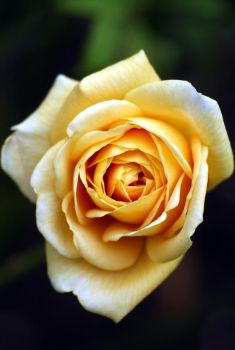 Yellow rose by Gothic-Dreamscapes