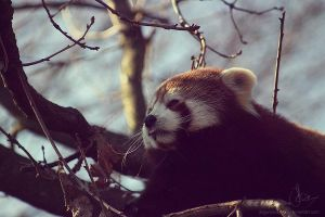 Red Panda by JArdley