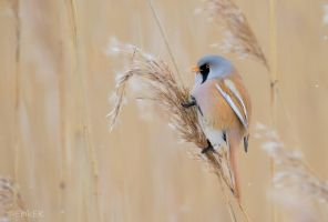 Bearded reedling by ErikEK