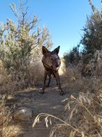 The Brindle Coyote by WolfForce58205