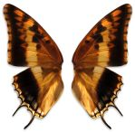 ambre wings by Meltys-stock