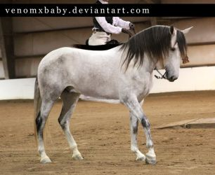 gray andalusian stallion 5 by venomxbaby