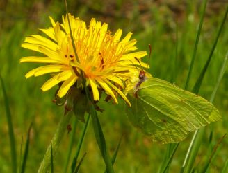 Common Brimstone on a Dandelion by Stilleschrei