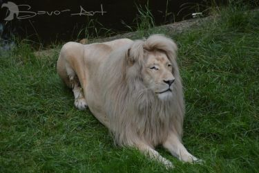 White Lion by Savo-Art