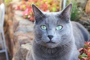 Russian Blue Kitty by MoonLover
