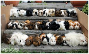 36 Guinea Pigs and Counting! by Clerdy