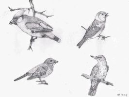 Bird sketches by DrawingNynke