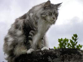 ..Maine coon en balade 2 by Flore-stock