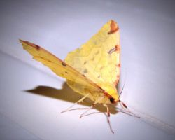 Yellow Moth by AstarothSquirrel