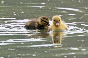 Two Ducklings by SnowPoring
