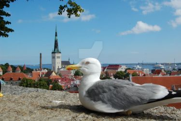 Sea gull in Tallinn by hippo2