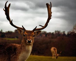 Stag III by Jez92