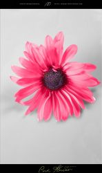 Single pINK FLOWER by masray