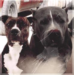 Pitbull Terrier by JessicaSnapex21
