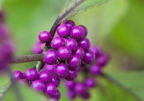 Berries by SarahharaS1
