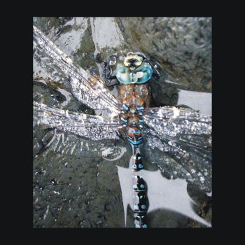 Dragonfly Down by Indelibly-Yours