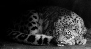 Sleeping Leopard by MacroMagnificent