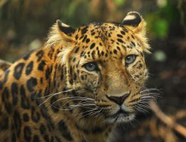 Amur Leopard - Who could resist that look? by Shadow-and-Flame-86