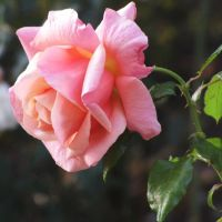 Simply a rose by Heylormammy