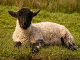 Lamb Chilling on the Grass by Spe4un