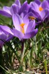 Corting the Crocus by ChrisTheJeweler