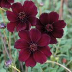 Chocolate Cosmos By Sueweetie-dayh0vq by Yamio