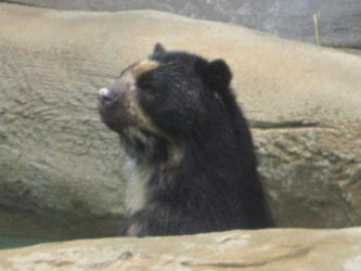 Spectacled Bear by TheWalrusclown