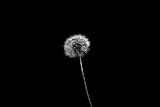 Dandelion by aqualicioussss