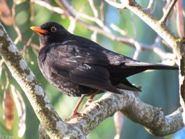 male blackbird by kiwipics