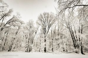 Trees of Winterland by SharpPhotoStudio