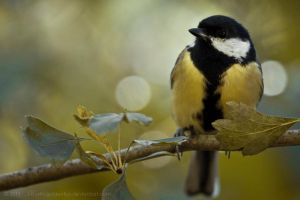 Great Tit by MysticGoldenFox