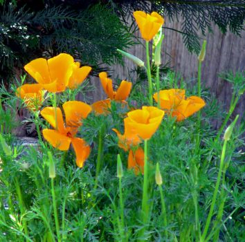 CA Poppies Celebrate Spring by Synaptica