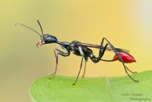 Thread-waisted wasp by ColinHuttonPhoto