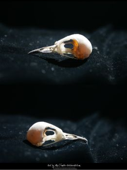 Bird Skulls Stock 13 by emothic-stock