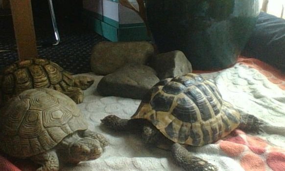 MY TORTOISE CALLED NORMAN. by TortoiseOnion