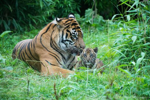 Tiger and Cub 126-08-13 by Prince-Photography