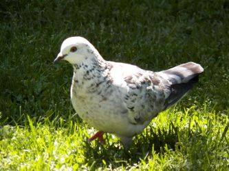 Nara the Lovely Pigeon Too by kukikid