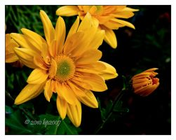 Yellow mums - 6 by bp2007