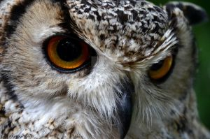 Bubo africanus by LAHPhotography89