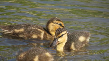 Ducklings by MidnightRarity