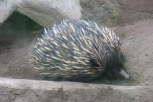 Echidna on the move by Dinalfos5