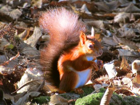 Red Squirrel by Cotterill23