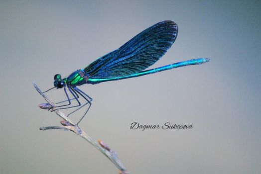 Dragonfly by LUQWE