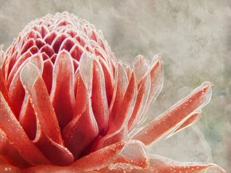 Torch Ginger by seek-and-hide
