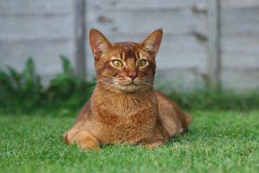 Abyssinian Cat Resting But Alert Stock 1 by FurLined