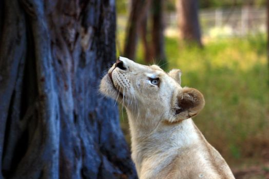 Lioness - waiting by arinqa