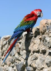 Red-and-green Macaw freaks out by Zapan99